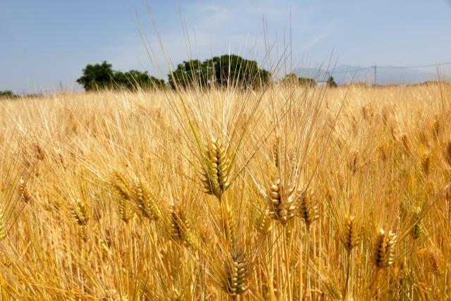 小金色の大麦畑