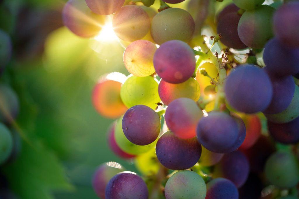 後光の射した収穫前のブドウ