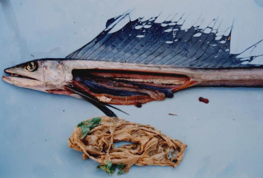 海洋プラに汚染される魚